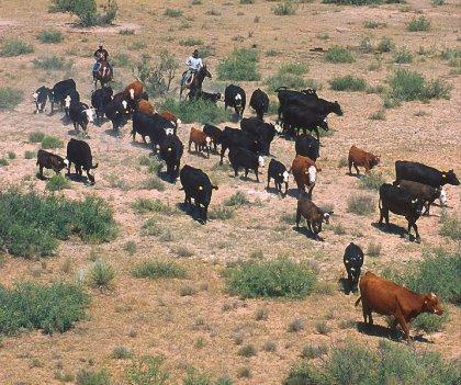 Cowboys e mandria