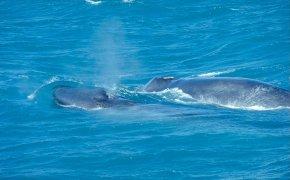 Balena azzurra