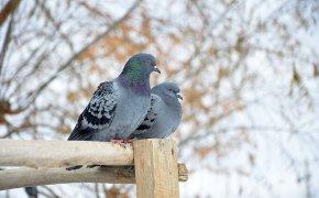 Coppia di piccioni